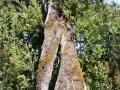 Imposant chêne vert (A Leccia)